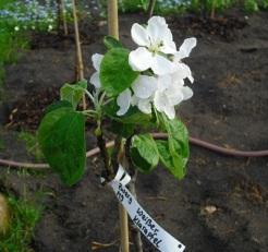 Zwerobstbaum in Blüte